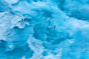Kittiwakes (Rissa tridactyla) flying in front of ice wall of Brasvellbreen glacier, Austfonna, Nordaustlandet, Svalbard, Norway, July - Florian Möllers