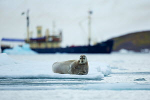 Bearded seal (Erignathus barbatus) resting on ice-floe and Expedition cruise ship M/S Stockholm close to Lamoteoya, Svalbard, Norway, July 2012 - Florian Möllers