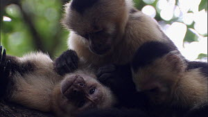 Family of White-throated / White-faced capuchins (Cebus capucinus) resting and grooming each other, Santa Rosa National Park, Costa Rica. - Ammonite