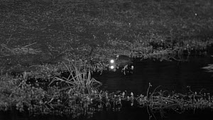 Mugger crocodile (Crocodylus palustris) stalking, lunging for and missing a frog on the edge of a waterhole, footage taken at night using starlight camera technology, Yala National Park, Sri Lanka. - Ammonite