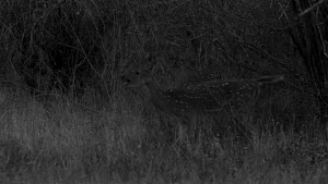 Female Chital deer (Axis axis) barking in alarm, footage taken at night using starlight camera technology, Yala National Park, Sri Lanka. - Ammonite