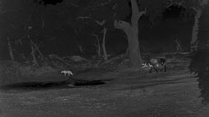 Water buffalo (Bubalus arnee) chasing Sri Lankan leopard (Panthera pardus kotiya) near a waterhole, footage taken at night using thermal camera technology, Yala National Park, Sri Lanka.  -  Ammonite