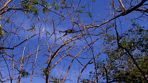 Mantled howler monkey (Alouatta palliata) climbing through canopy, showing use of prehensile tail, Santa Rosa National Park, Costa Rica.  -  Ammonite