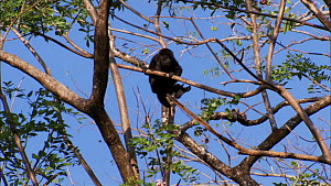 Juvenile Mantled howler monkey (Alouatta palliata) climbing through canopy, showing use of prehensile tail, Santa Rosa National Park, Costa Rica.  -  Ammonite