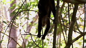 White-throated / White-faced capuchin (Cebus capucinus) climbing and playing with twig, showing use of prehensile tail, Santa Rosa National Park, Costa Rica. - Ammonite