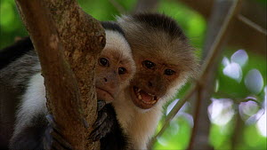 White-throated capuchins (Cebus capucinus) alarm calling, Santa Rosa National Park, Costa Rica. - Ammonite