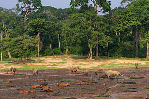 Forest Elephants, (Loxodonta cyclotis) in Dzanga Bai Clearing with forest Buffalo (Syncerus caffer nanus) Central African Republic, Africa. - Mark MacEwen