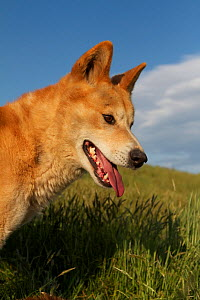 Dingo (Canis lupus dingo) Canberra, New South Wales, Australia.  -  Mark MacEwen