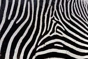 Grevy's zebra (Equus grevyi) close-up of coat, Ol Pejeta Conservancy, Kenya, Africa.  -  Mark MacEwen