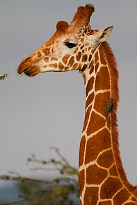 Reticulated Giraffe (Giraffa camelopardalis reticulata) with Yellow-billed Oxpecker (Buphagus africanus) on neck, Ol Pejeta Conservancy, Kenya, Africa.  -  Mark MacEwen