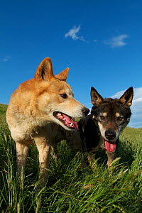 Dingos (Canis lupus dingo) Canberra, New South Wales, Australia.  -  Mark MacEwen