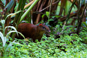 Agouti (Dasyprocta punctata) collecting Brazil nut seeds to bury, in jungle, Brazil. - Mark MacEwen