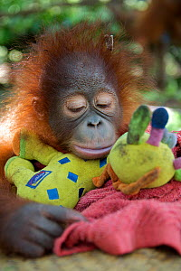 Orangutan (Pongo pygmaeus) orphan  juvenile in nursery, sleeping on toys. Nyaru Menteng Orangutan Reintroduction Project, Central Kalimantan, Borneo, Indonesia.  -  Mark MacEwen