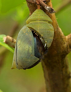 Blue Morpho (Morpho peleides) end of pupal stage with chrysalis opening. Sequence 5 of 9. Costa Rica.  -  John Cancalosi