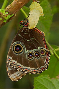 Blue Morpho (Morpho peleides) butterfly after emerging from crysalis with wings now fully extended. Sequence 9 of 9. Costa Rica.  -  John Cancalosi