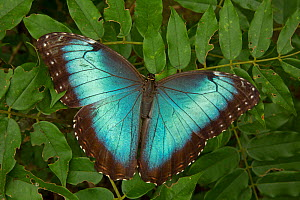 Blue Morpho (Morpho peleides) with wings open showing irridescent blue. Costa Rica.  -  John Cancalosi