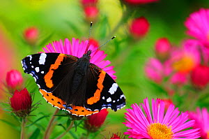 Red Admiral Butterfly (Vanessa atalanta) on Michaelmas daisy flowers. Dorset, UK, October 2012. - Colin Varndell