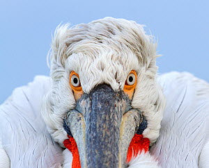 Dalmatian Pelican (Pelecanus crispus) close-up portrait. Lake Kerkini, Greece, March 2012. - David Pattyn