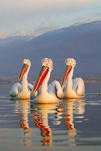 Three Dalmatian Pelicans (Pelecanus crispus) portrait on lake. Lake Kerkini, Greece, March 2012.  -  David Pattyn