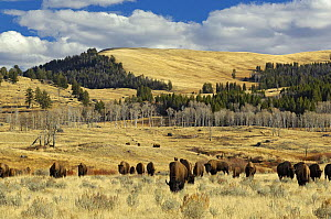 American Buffalo / Bison (Bison bison) grazing in open plains. Yellowstone National Park, Wyoming, October.  -  George Sanker