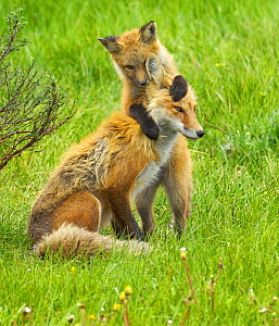 American Red Fox (Vulpes vulpes) cubs playing with its mother. Grand Teton National Park, USA, June. - George  Sanker