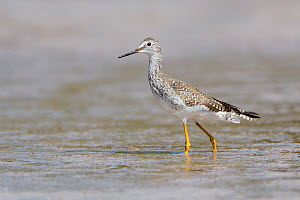 Greater Yellowlegs (Tringa melanoleuca) in shallow water. Everglades National Park, Florida, USA, March. - George Sanker