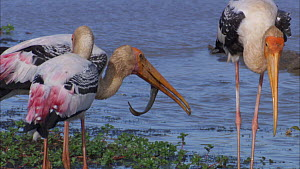 Painted stork (Mycteria leucocephala) eating fish prey, Yala National Park, Sri Lanka. Sequence 2/2.  -  Ammonite