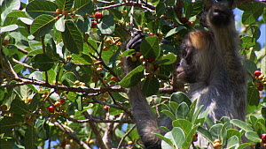 Black-handed / Geoffroy's spider monkey (Ateles geoffroyi) feeding on figs, Santa Rosa National Park, Costa Rica.  -  Ammonite
