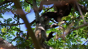 Juvenile Black-handed / Geoffroy's spider monkey (Ateles geoffroyi) playing with a Mantled howler monkey (Alouatta palliata) in tree, Santa Rosa National Park, Costa Rica. Sequence 2/2.  -  Ammonite