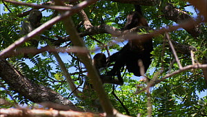 Two juvenile Black-handed / Geoffroy's spider monkeys (Ateles geoffroyi) playing with a Mantled howler monkey (Alouatta palliata) in tree, showing use of prehensile tails, Santa Rosa National Park, Co...  -  Ammonite