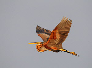 Purple Heron (Ardea purpurea) in flight, Pusztaszer, Hungary, June  -  Markus Varesvuo