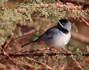 Ruppell's Warbler (Sylvia rueppelli) male, Eliat, Israel, March - Markus Varesvuo