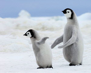 Emperor Penguins (Aptenodytes forsteri) chicks Snow Hill Island, Antarctica, November - David Tipling