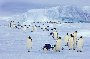 Emperor Penguins (Aptenodytes forsteri) on the march to the sea from their colony Snow Hill Island, Antarctica, November  -  David Tipling