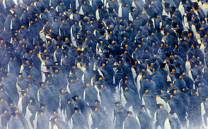 King Penguins (Aptenodytes patagonicus) group huddled together in storm, Right Whale Bay, South Georgia, November - David Tipling