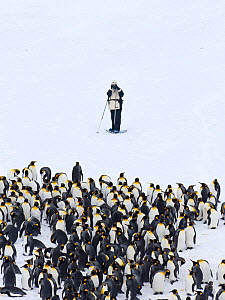 Tourist photographing King Penguins (Aptenodytes patagonicus) Fortuna Bay, South Georgia, November 2006. No release available.  -  David Tipling