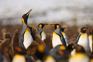 King Penguin (Aptenodytes patagonicus) colony with chicks, Gold Harbour, South Georgia, November  -  David Tipling