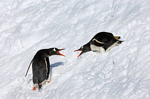 Gentoo Penguins (Pygoscelis papua) showing aggression as they pass by one another, South Georgia, November - David Tipling