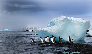 Gentoo Penguins (Pygoscelis papua) about to enter the sea, Brown Bluff Antarctic Peninsula, Antarctica, November - David Tipling