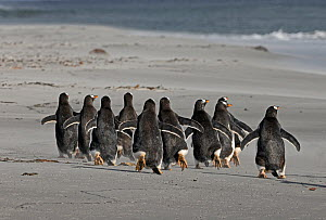 Gentoo Penguins (Pygoscelis papua) group walking, Sea Lion Island, Falklands, November - David Tipling