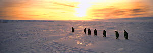 Emperor Penguins, (Aptenodytes forsteri), adults returning to colony across sea ice of the Weddell Sea, in the early morning, Antarctica  -  David Tipling