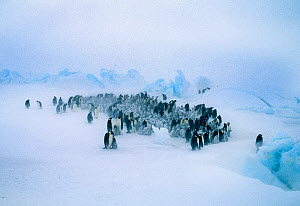Emperor Penguins, (Aptenodytes forsteri), young huddling together to form a creche to keep warm, during storm, Dawson Lambton Glacier, Weddell Sea, Antarctica  -  David Tipling