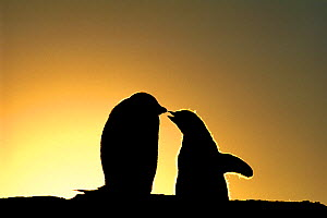 Adelie Penguin, (Pygoscelis adeliae), chicks begging for food, silhouetted at dawn, Shingle Cove, Livingston Island, Antarctica - David Tipling