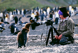 King Penguin, (Aptenodytes patagonicus), chick looking at tourist, on beach, Gold Harbour, South Georgia, January  -  David Tipling