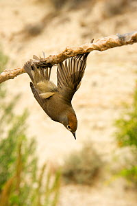 Blackcap (Sylvia atricapilla) illegally trapped on limestick for use as ambelopulia, a traditional dish of songbirds Cyprus, September 2011  -  David Tipling
