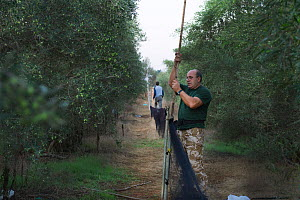 Police officer dismantles illegal mist nets in olive grove in Dekelia Sovereign Base Area of Cyprus. Birds would have been trapped and sold as the food delicacy ambelopoulia. September 2011.  -  David Tipling