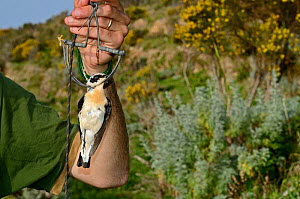 Activist from CABS (campaign against bird slaughter) holding a Black-eared Wheatear (male) (Oenthe hispanica) in spring / clap trap, illegally trapped on island of Ponza, Italy April 2012  -  David Tipling