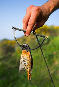 Redstart (Phoenicurus phoenicurus) migrant male caught in spring trap (also known as a clap trap or sep trap) Ponza, Italy, April 2012  -  David Tipling
