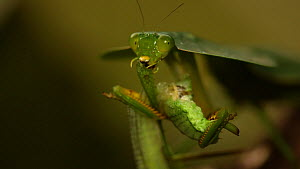 Hooded mantis (Choeradodis rhombifolia) eating katydid prey, Costa Rica.  -  John Cancalosi