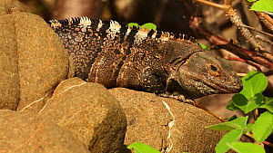 Male Spiny-tailed iguana / Black iguana / Black ctenosaur (Ctenosaura similis) displaying by bobbing head, Costa Rica.  -  John Cancalosi